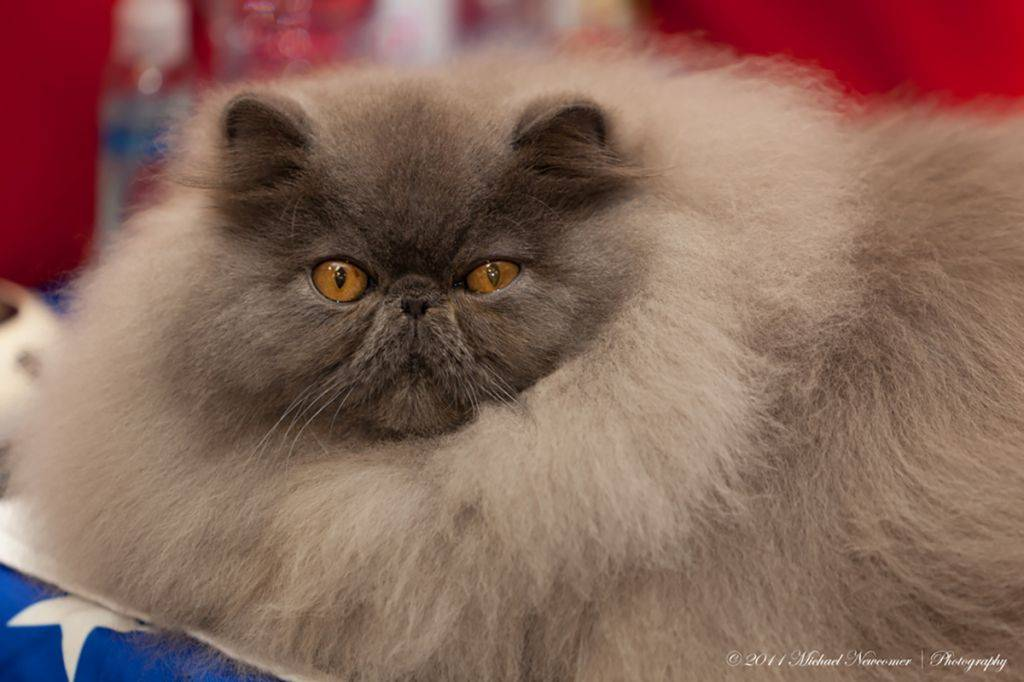 Персидская кошка: описание, цена, уход