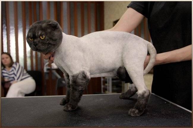 Топ-12 пород кошек, которые почти не линяют