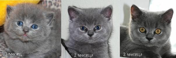 Когда у котят меняется цвет глаз: в каком возрасте, причины изменения цвета
