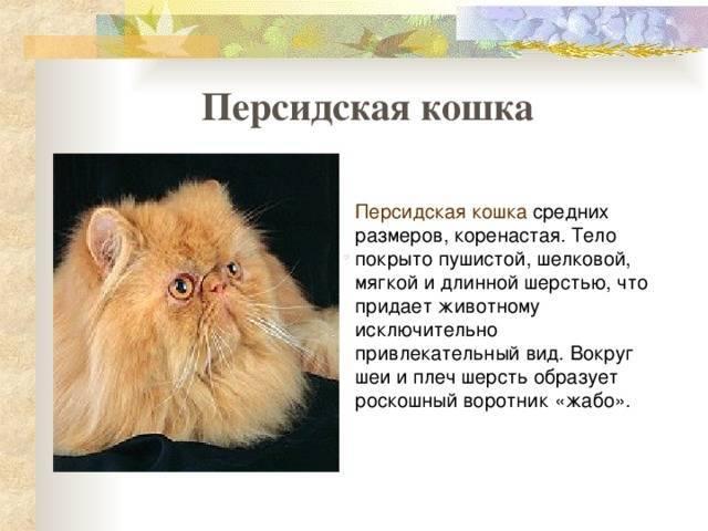 Персидская кошка: фото, описание, характер, содержание