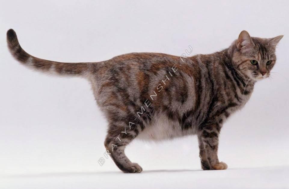 Признаки половой охоты: поведение кошки во время течки