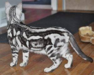 Особенности окраса табби у кошек – тигрового, классического и пятнистого: какие породы котов могут его иметь?
