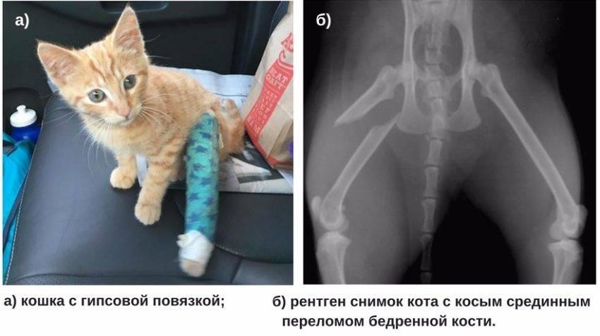 Хромота у кошек после перелома