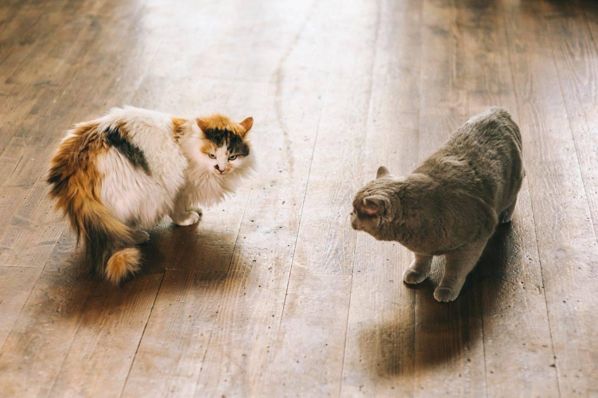 Сколько дней может длиться течка у кошки