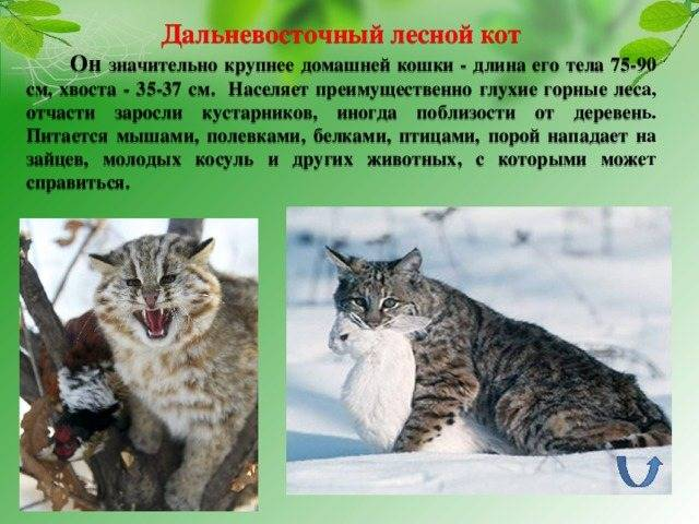 Дальневосточный лесной (амурский) кот: 40 фото, описание, окрас, среда обитания