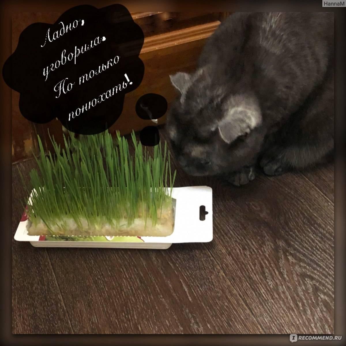 Трава для кошек: название, цена, инструкция как сажать траву с почвой и без почвы