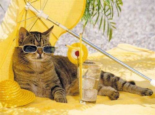 Как помочь кошке в жару: охлаждаем питомцев