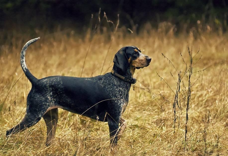 Охотничьи породы собак с названиями и характеристиками рабочих качеств