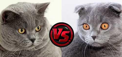 Разница между вислоухими котами британцами и шотландцами