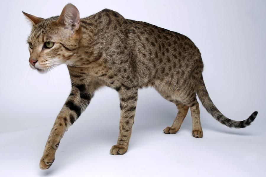Самые дорогие кошки  топ 15 дорогих пород с фото