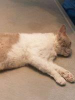 Осложнения после отека легких у котов. можно ли вылечить отек легких у кота