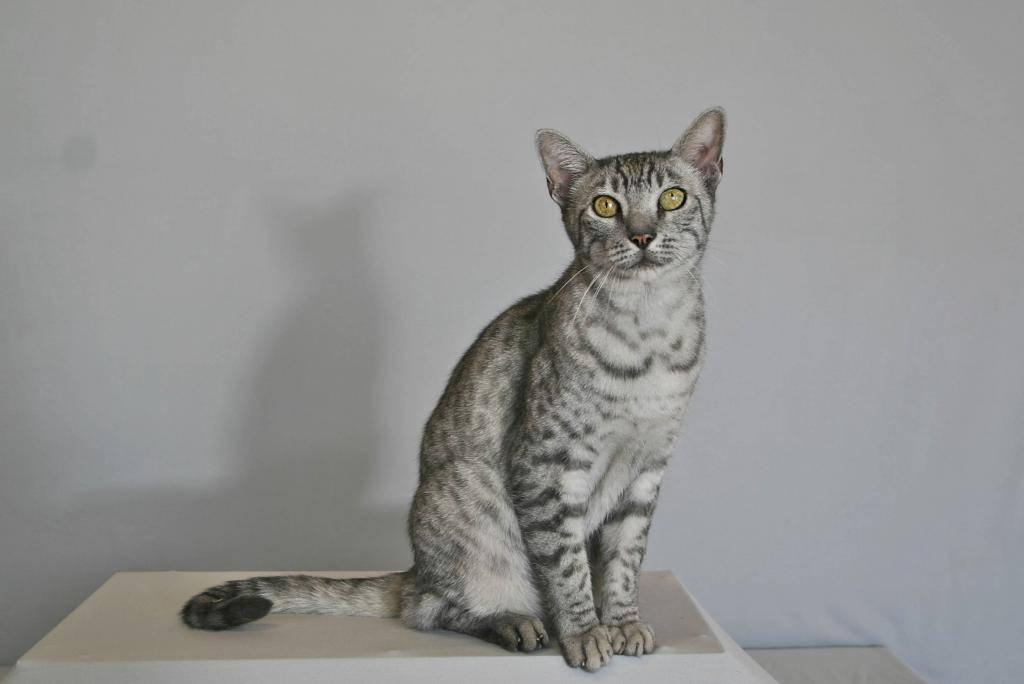 Египетская мау: одна из древнейших кошачьих пород