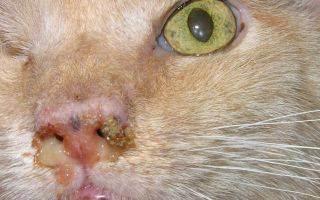 Способы лечения ринита у кошек