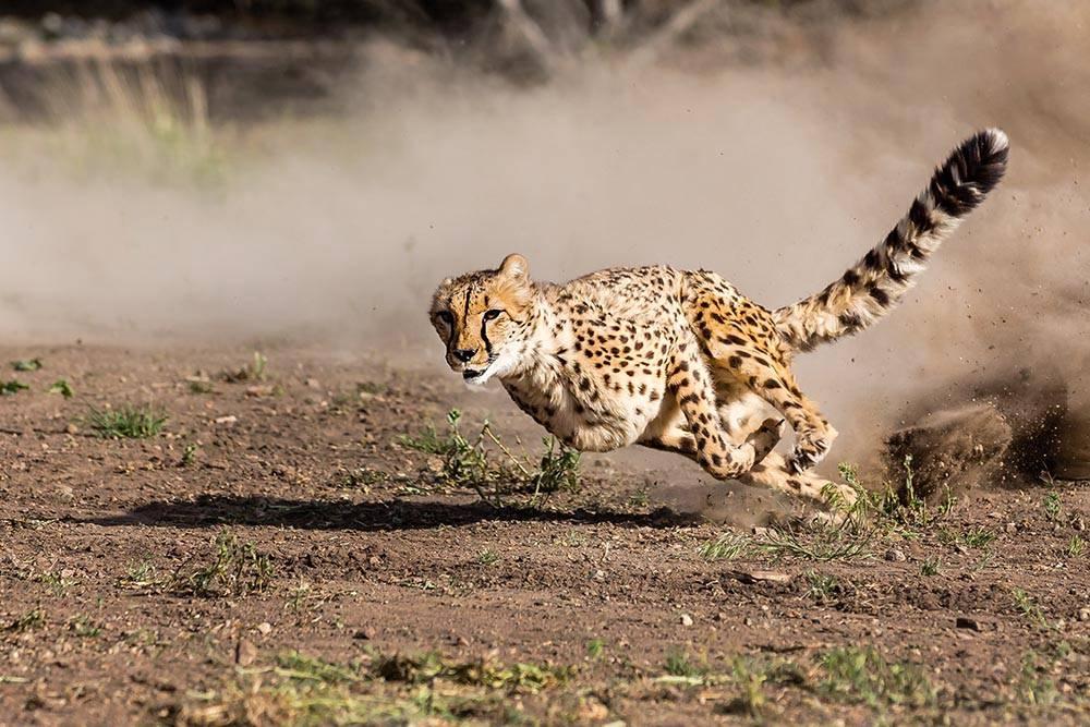Самые быстрые наземные животные в мире. топ-10