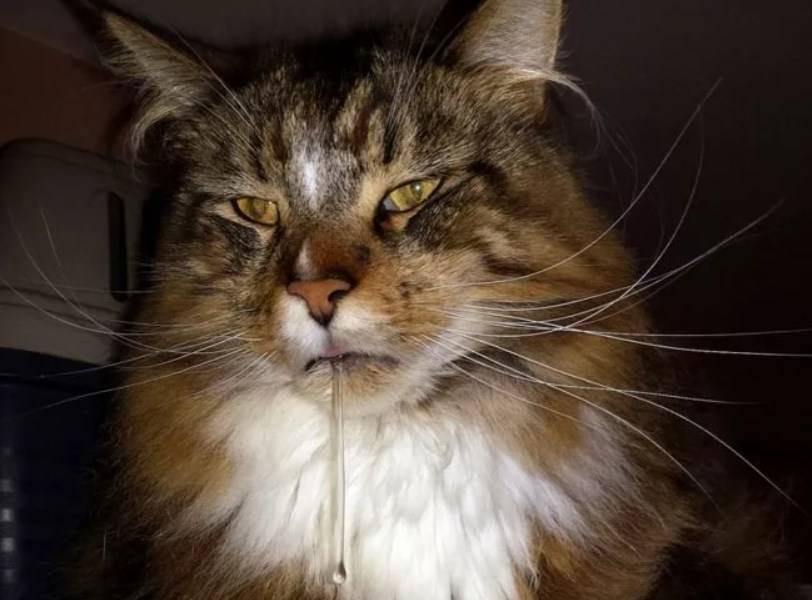 Слюни у кота с текущими прозрачными каплями как вода и с запахом изо рта: причины, диагностика и профилактика