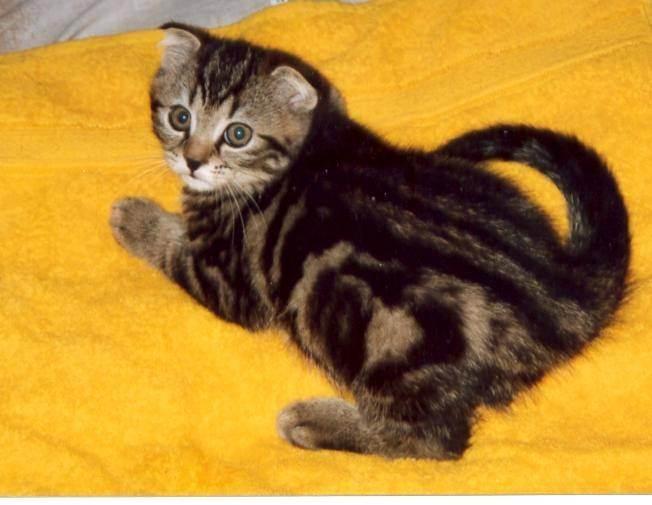 Кастрированный кот топчет, кусает и совокупляется