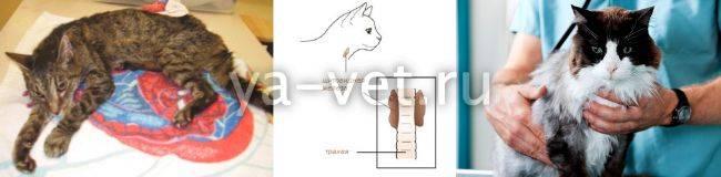Гипертиреоз у кошек - причины, симптомы, лечение | все о кошках