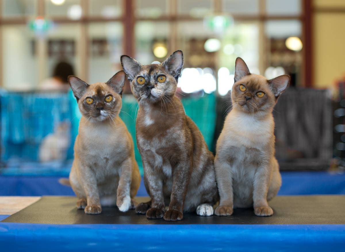 Бурманская кошка. описание, особенности, цена и уход за бурманской кошкой