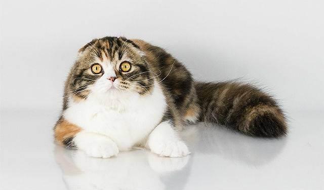 Течка у кошек: сколько длится, как часто бывает, признаки, что делать и как успокоить?