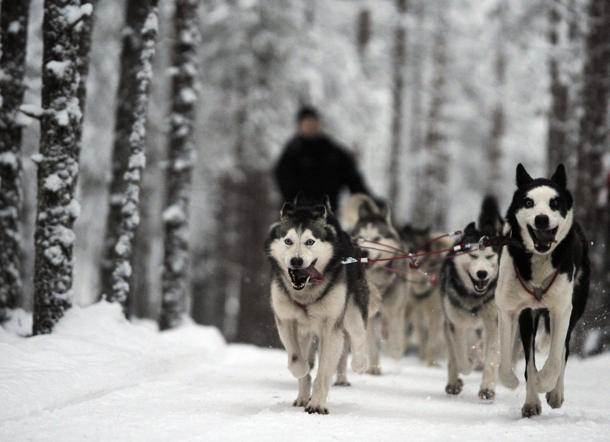 Как назвать карело-финскую лайку: имена для щенков мальчиков и девочек.