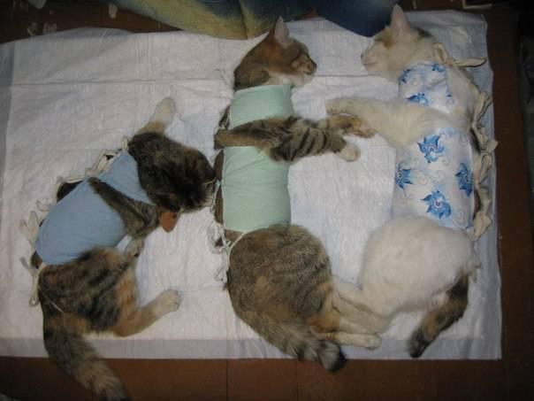 Стерилизация кошек: в каком возрасте лучше стерилизовать, поведение кошки до и после операции, подготовка к стерилизации, виды: полостная операция, крючок, лапароскопия
