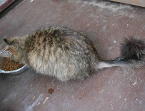 Проплешины у кошек — причины облысения на спине, голове, лапах и ушах
