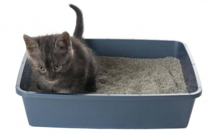 Как быстро приучить котёнка к лотку