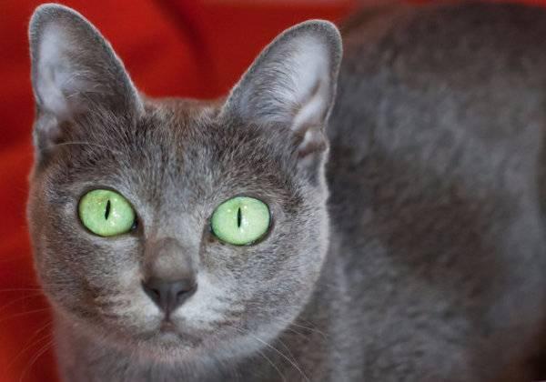 Особенности характера, содержания и ухода за кошками породы корат