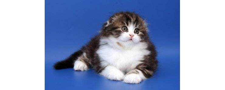 Хайленд-страйт: шотландская длинношерстная прямоухая кошка, описание породы, уход и содержание, фото, отзывы владельцев