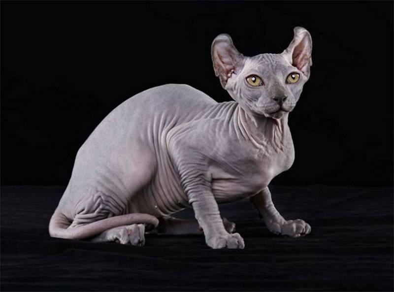 Кошка эльф и двэльф: фото, описание, окрас, характер, стандарт породы