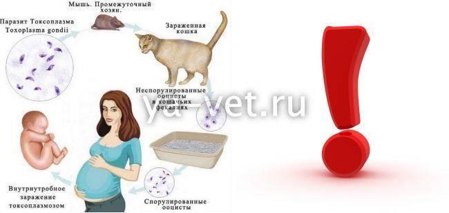 Анализ на токсоплазмоз у кошек: проверка питомца на заражение