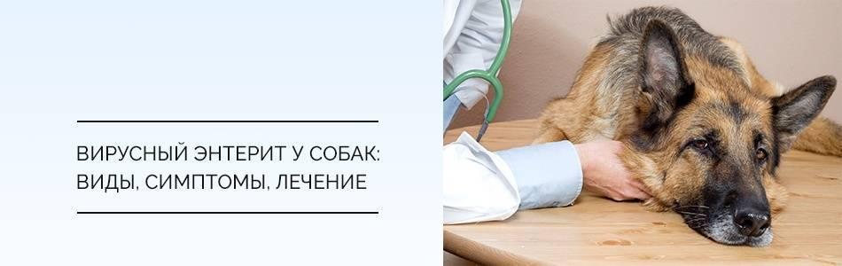 Лечим энтерит у кошек! быстро, эффективно и без последствий