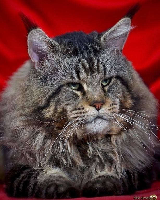 Мейн-кун полидакт (18 фото): что это значит? описание и содержание полидактильных котят и взрослых шестипалых котов