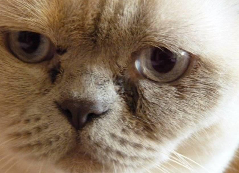 У кошки слезятся глаза: что делать в домашних условиях