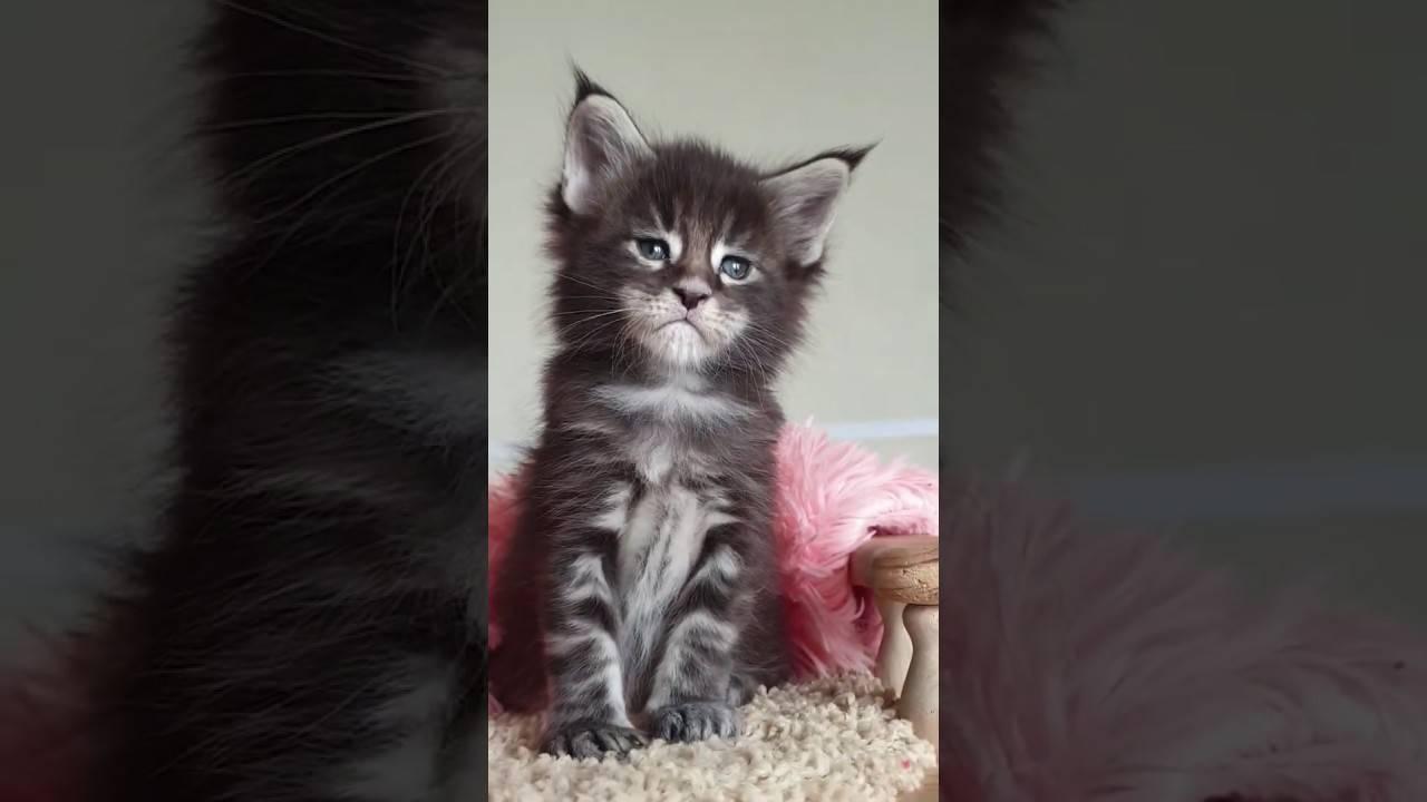 Как отличить котенка мейн-куна от обычного?