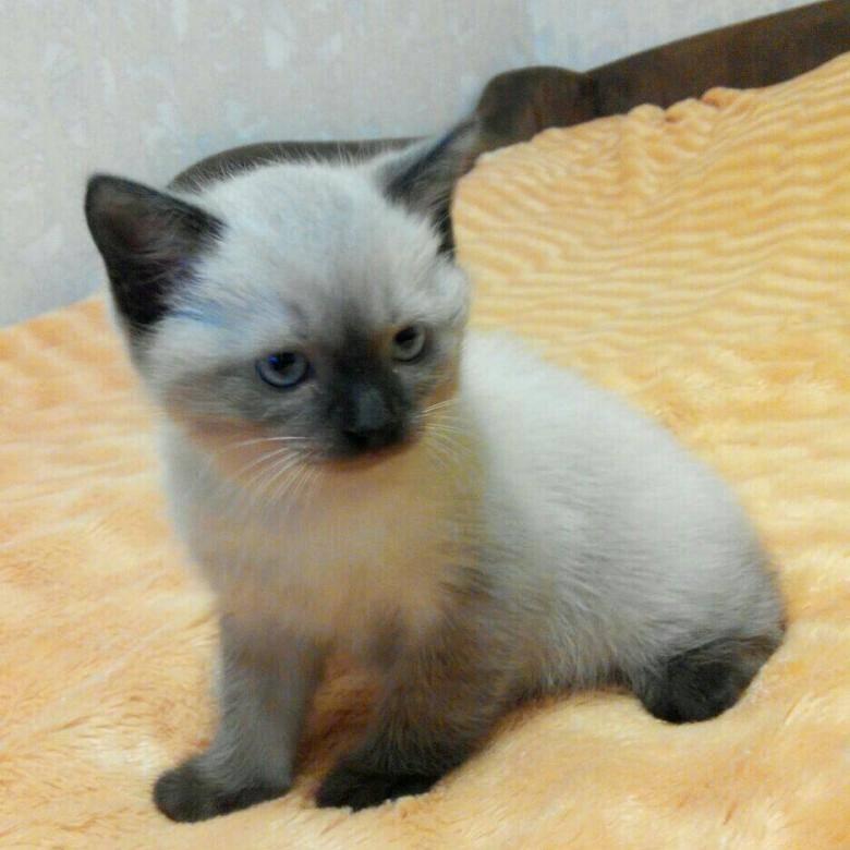 Сиамская кошка: описание породы, отзывы, цена, видео