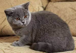 Линяют ли британские кошки. что делать если британский кот сильно линяет