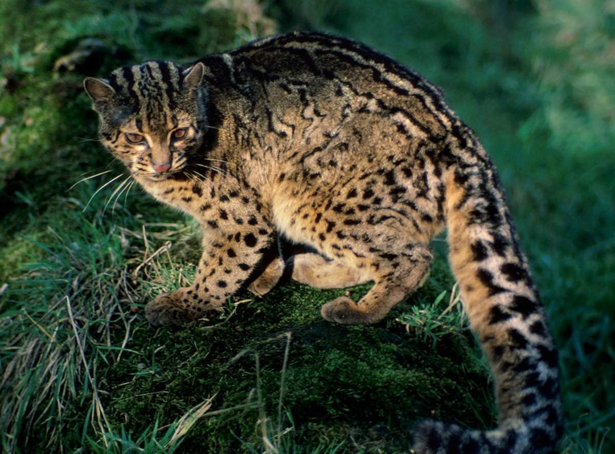 Кавказский лесной кот: редкий вид кошек, занесённый в красную книгу россии.