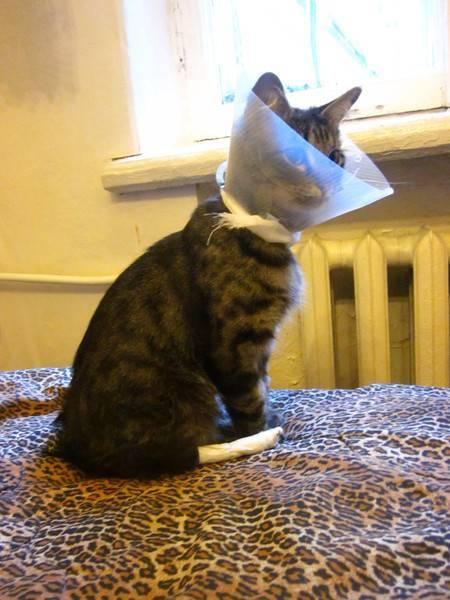 Уход за котом после кастрации. интервью с ведущим реабилитологом