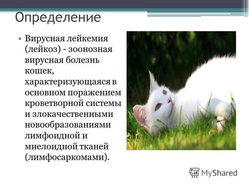 Лейкоз у кошек: симптомы, пути заражение вирусной лейкемией, методы лечения, передается ли человеку, применение вакцины