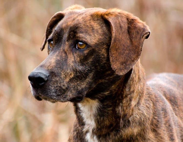 Английская енотовая гончая | собакопедия вики | fandom