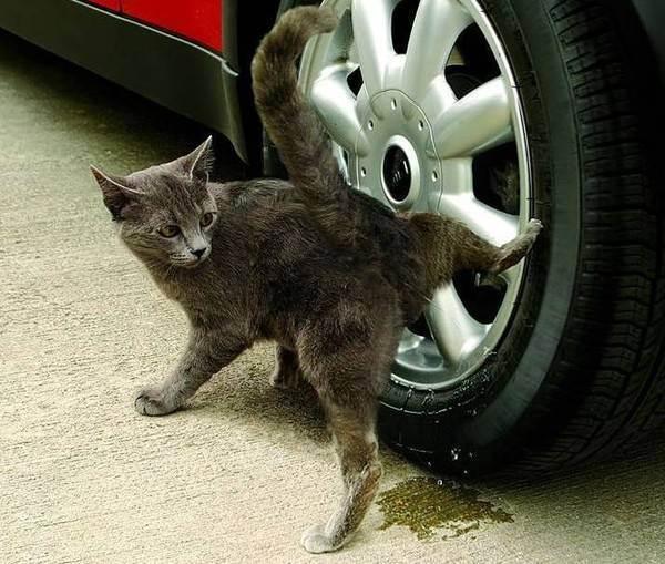 В каком возрасте коты начинают метить территорию | что говорят насекомые