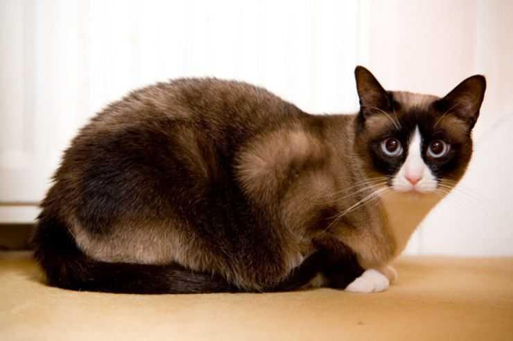 Все что нужно знать о породе кошек сноу шу: описание внешнего вида и характера