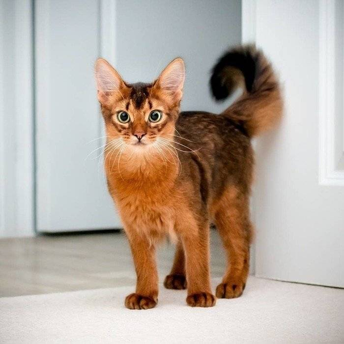 Сомалийская кошка (сомали)