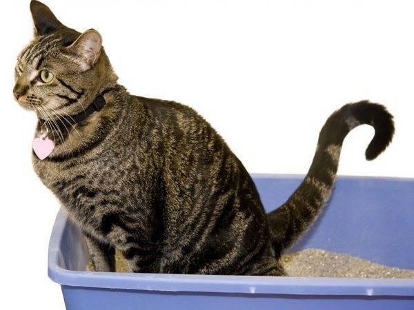 Кот не может пописать: причины и как помочь в домашних условиях