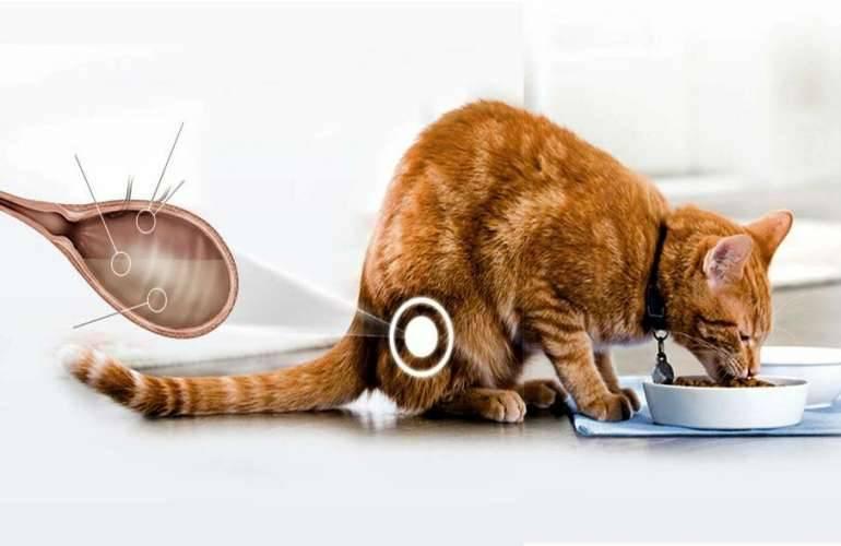 Цистит у кошек: симптомы и лечение в домашних условиях, профилактика заболевания