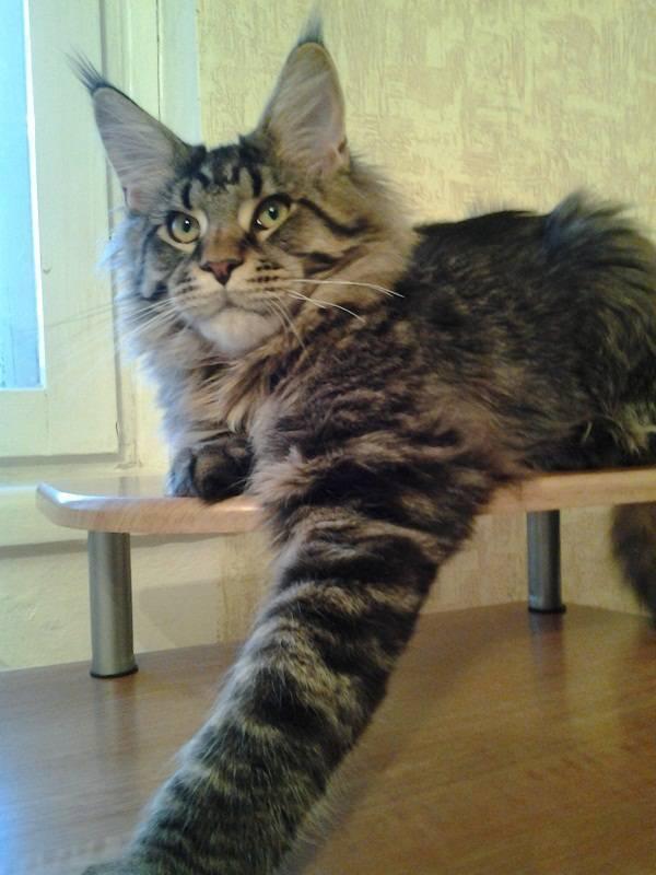 Вес мейн-кунов по месяцам (37 фото): таблица со средним весом кошки по месяцам. сколько весит котенок в 3 и 6 недели? максимальный вес взрослого кота