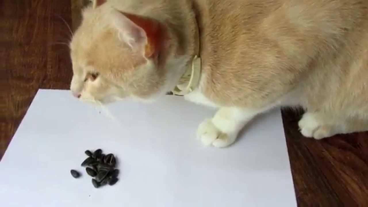 ✅ можно ли кошкам семечки подсолнечника - усадьбанатали.рф