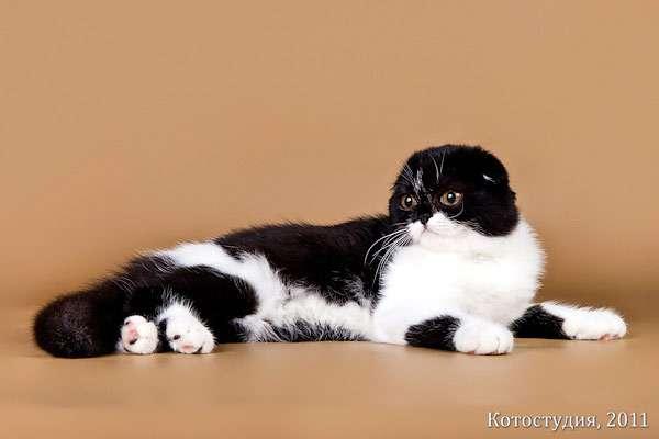 Описание шотландской вислоухой кошки с фото, особенности ухода, стоимость котят