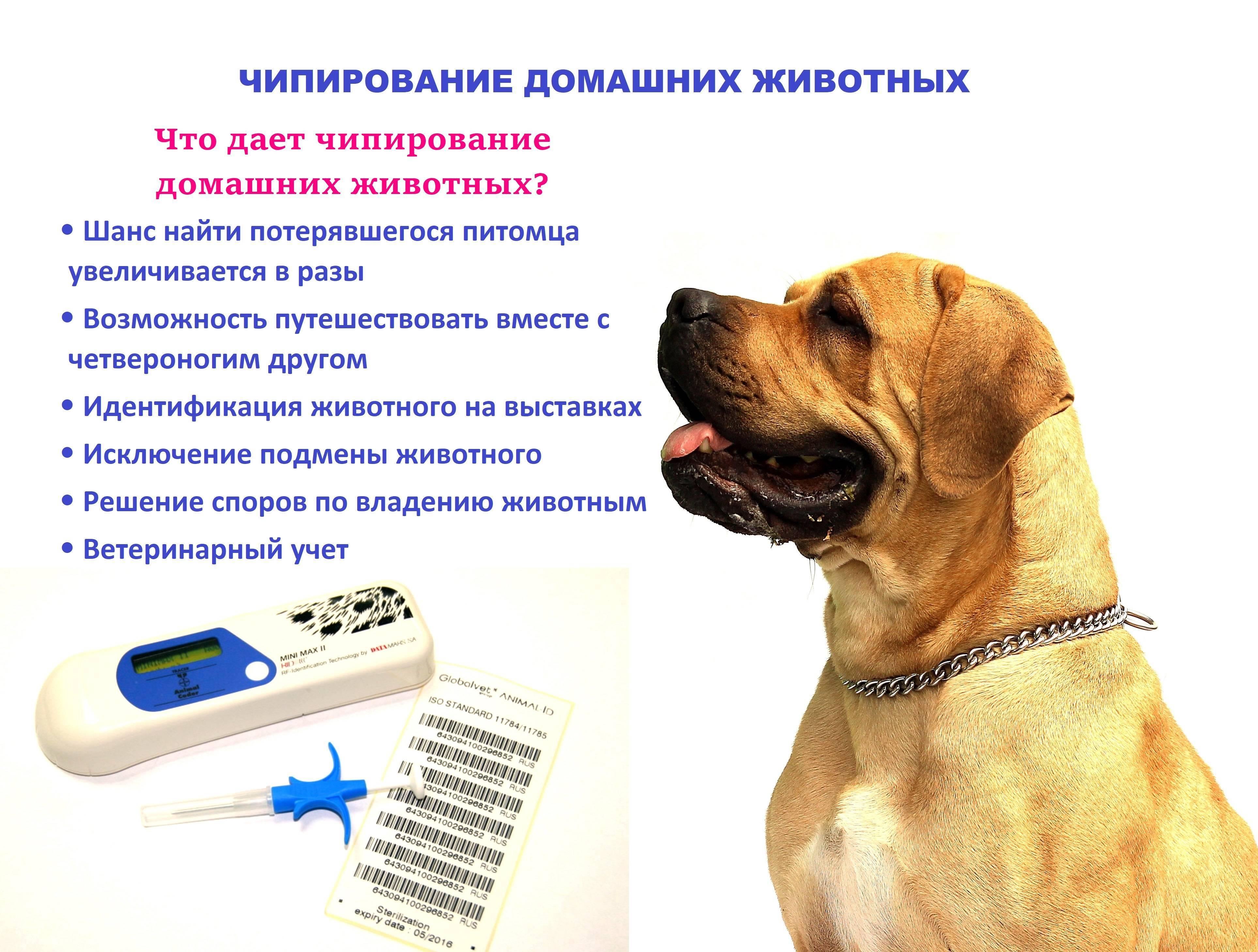 Чипирование кошек и котов - все что нужно об этом знать | caticat.ru